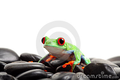 Frog on rocks isolated