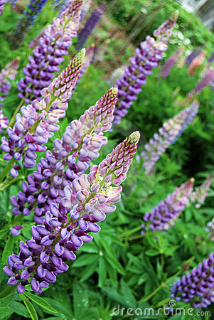 The background of the flowers of lupine