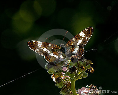 White Admiral backlit by sun