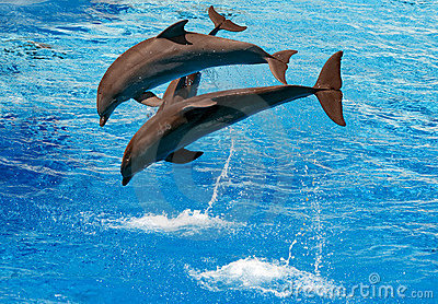 Dolphins jumping from the water