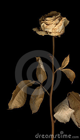 Dried-out rose