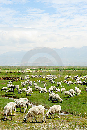 Goats on the grassland