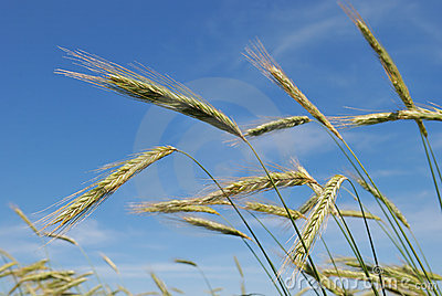 Ears of rye (wheat)