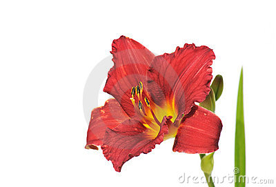 Dark red daylily isolated on white