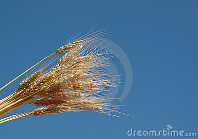 Wheat and the blue sky