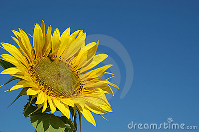 Beautiful Sunflower and the blue sky