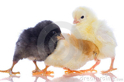 Cute baby chicks,