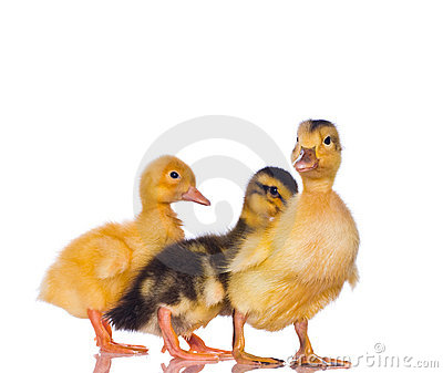 Yellow ducklings