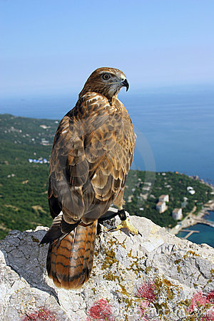 The falcon looks at us, sitting on top of mountain