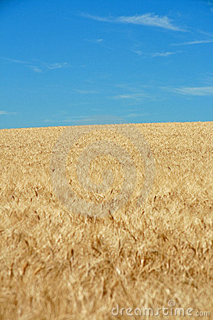 Wheat of field