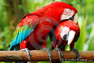 Love macaw birds