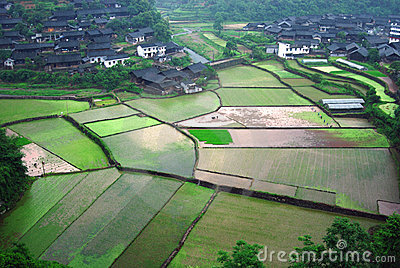 Farmers are working on rice field, China