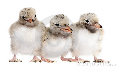 Group of three Common Tern chick in a row - Sterna