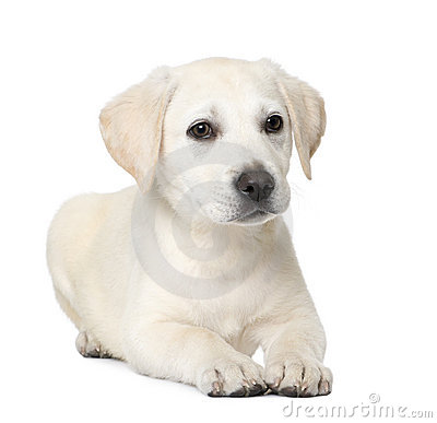 Labrador puppy (4 month old)