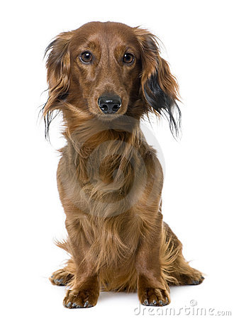 Front view of a Dachshund sitting (1 year old)