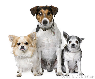 Goupe of dog: two chihuahua and a Jack russell