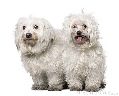Couple of two maltese dog (4 years old)