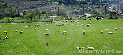 Sheeps on a soccer field