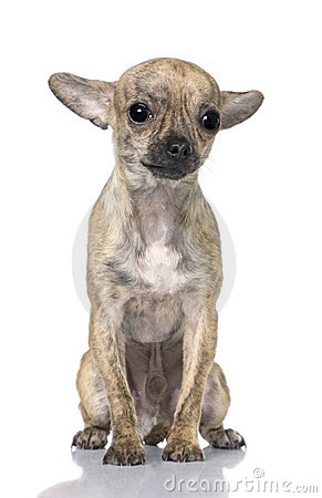Chihuahua puppy (7 month old) sitting