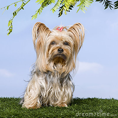 Yorkshire Terrier (4 years old)