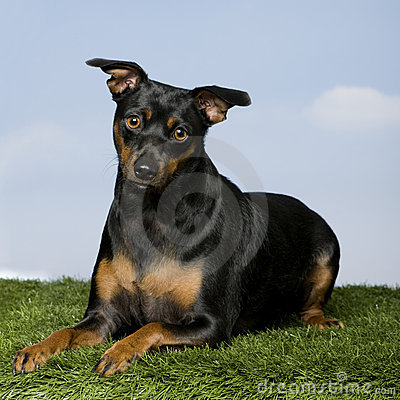 Pinscher (15 months old)