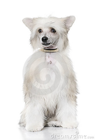 Groomed Chinese Crested Dog sitting - Powderpuff (