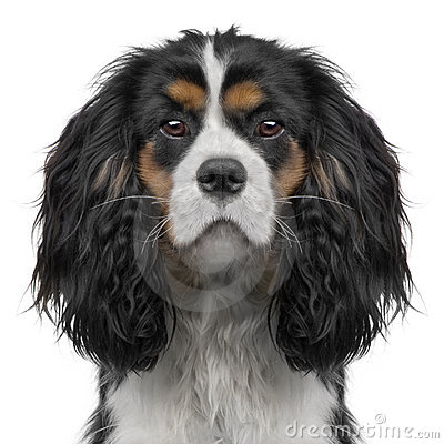 Cavalier King Charles puppy (10 months) (Digital e