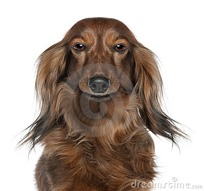 Close-up of a Dachshund's head