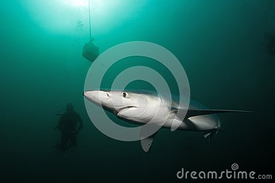 Blue shark, prionace glauca, Atlantic ocean, South Africa