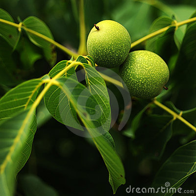 Walnuts tree