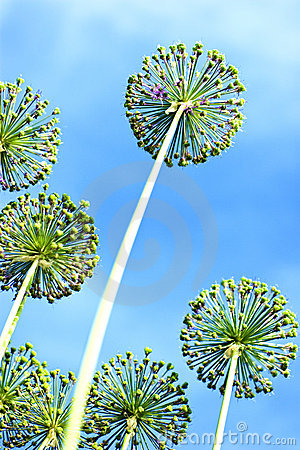 Flowers of onions against  blue sky