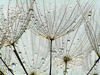 Dandelion with droplets