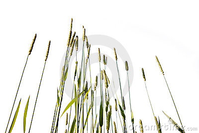 Tall grass isolated on white background