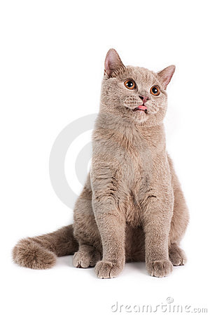 British Shorthaired Cat