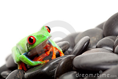 Frog on the rocks isolated
