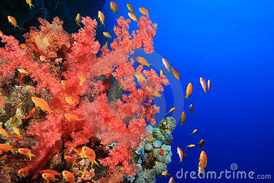 Soft Coral and Lyretail Anthias