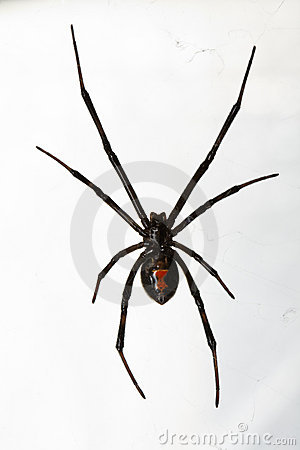 Black Widow Spider Isolated over White Background
