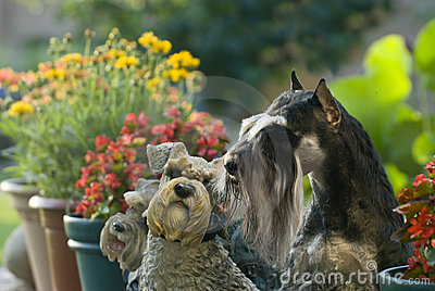 Dog pet Mini Schnauzer garden