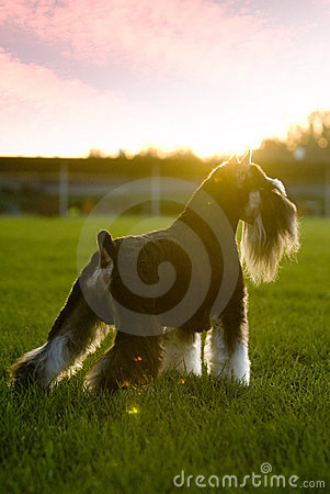 Dog pet Mini Schnauzer sunset