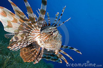 Lionfish hunts over seagrasse