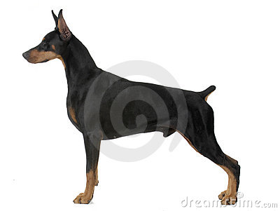 Dog pet Doberman Pinscher