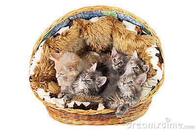 The Maine coon kittens