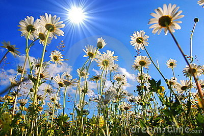 Daisy flower from below with blue sky