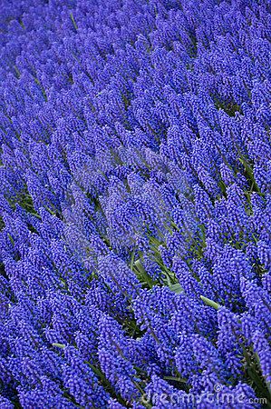 Muscari armeniacum or grape hyacinth