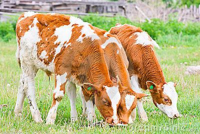 Three calf feeding on the lawn