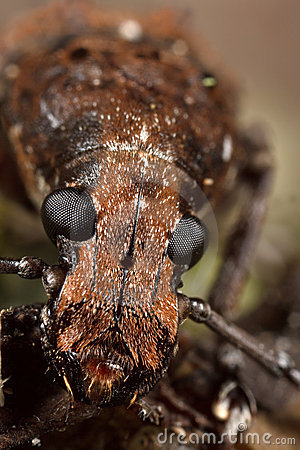 Fungus weevil face from front