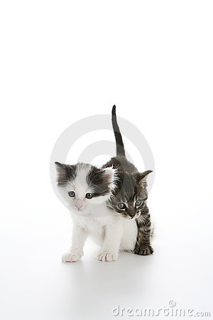 Tabby kitten walking over Calico