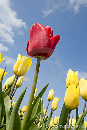 Red tulip in field with yellow tulips