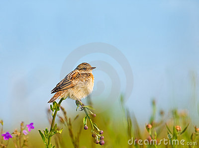 Lark on a flower
