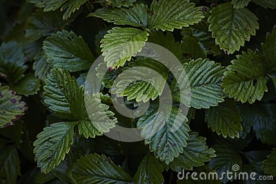 Lonely strawberry Fragaria green wet plant leaves in dark